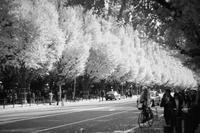 銀杏並木 - summicron