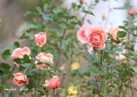 とある公園で撮った薔薇など少し・・♪ - インパクトブルー