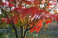 昭和記念公園紅葉7 - 生きる。撮る。