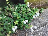 立浪草 - だんご虫の花