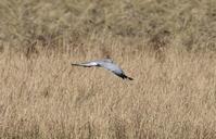 ハイイロチュウヒ~狩りをあきらめたようです - 私の鳥撮り散歩