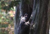 山城の水場へ来たカケス&イカル・シメ - 私の鳥撮り散歩