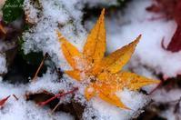 みちのくもみじ紅葉落葉 - みちのくの大自然