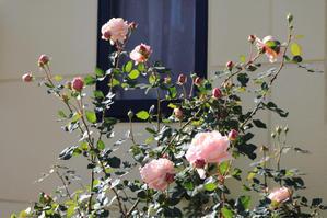 アンブリッジが美しすぎて - my small garden~sugar plum~