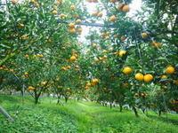 """究極の柑橘「せとか」今週末の急激な""""寒""""に備え匠は一切の手を抜かず準備をしていました! - FLCパートナーズストア"""