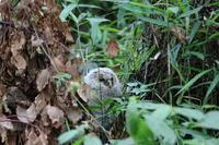 フクロウ(6) - 銀狐の鳥見