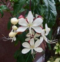 #旅 #下関 #木の花 #園芸種 『クラリンドウ』 Clerodendrum wallichii - 自然感察 *nature feeling*