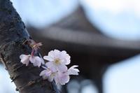 桜と彩雲 - 立川は Ecoutezbien  えくてびあん