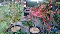 ブルーベリー鉢から畑への植え替え(その2) in 周南市 - 初めてのブルーベリー栽培記