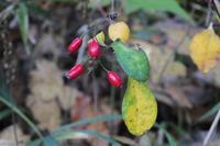 ■メギ赤い実と花18.12.4 - 舞岡公園の自然2