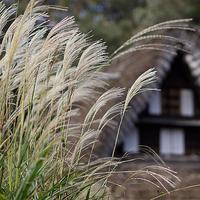 日本民家園とても昭和な枯れすすき18.10.27 13:11 - スナップ寅さんの「日々是口実」