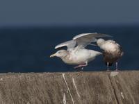 銚子漁港のシロカモメ2態 - コーヒー党の野鳥と自然 パート2