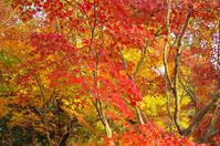 昭和記念公園紅葉8 - 生きる。撮る。