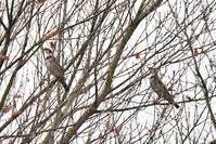 今季初のツグミさん - 鳥と共に日々是好日