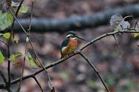 公園のカワセミさん - 鳥と共に日々是好日