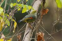 少し近くで撮れたソウシチョウ - 近隣の野鳥を探して