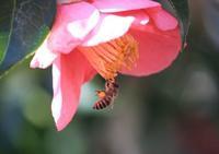 万願寺、蜂撮ってる~。いや、花粉ボールだ! - 万願寺通信