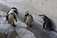 2018年11月長崎ペンギン水族館その3 - ハープの徒然草