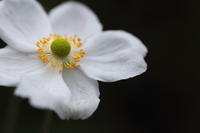 秋明菊 - ecocoro日和
