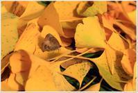 銀杏のベットに「ムラサキツバメ」 - ハチミツの海を渡る風の音