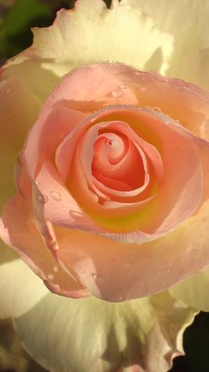 12月のバラ - 365日・花と短歌