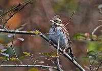 ・カシラダカ - 鳥見撮り