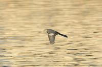 ハクセキレイflying《PartⅢ》 - zorbaの野鳥写真と日記