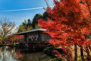 日本庭園のモミジ - 玉露の里 - - やきつべふぉと