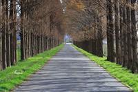 メタセコイアの道 - 晴れ時々そよ風