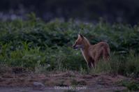 早朝の畑にキタキツネ - ekkoの --- four seasons --- 北海道