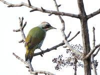 アオゲラ - 『彩の国ピンボケ野鳥写真館』
