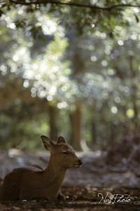 鹿 - やわらかな光