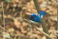 尾羽を広げたオオルリ…2018年を振り返って - 上州自然散策2
