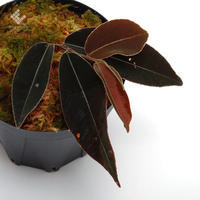 異彩を放つマルクグラビアとその他の新掲載植物たち - ZERO PLANTS / BLOG