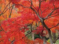 昭和記念公園晩秋の紅葉3 - 光の音色を聞きながら Ⅳ