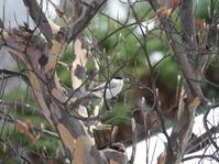 ナツツバキの樹にハシブトガラさん。 - ヒロムシ君のお散歩日記