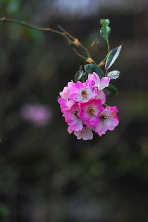 12/8 さて庭しごと - 「あなたに似た花。」