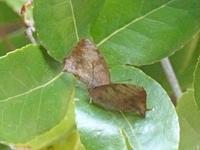 ムラサキツバメ寒さに耐えて - 蝶のいる風景blog