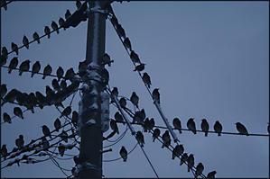 ムクドリの集団 -