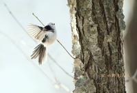 シマエナガ - 北の野鳥たち