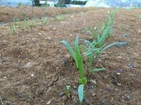ついに出てきたホウレンソウの芽 - 週末農夫コーディーのイケてる鍬の振るい方