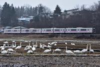 みちのく御所湖の白鳥たち15 - みちのくの大自然