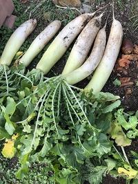 庭の大根を友愛&手作り品セールへ - あじさい通信・ブログ版