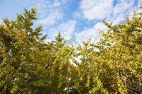 そぶえイチョウ黄葉まつり - 感動模写Ⅱ