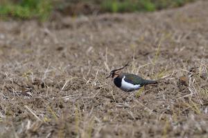 タゲリ - ごっちの鳥日記