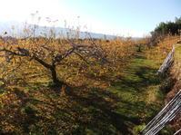 リンゴの木の伐採 - リンゴ園で想う