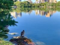 大濠公園のカモ - 美由紀の六角オセロ ラブ