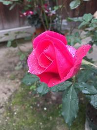 ハッとした薔薇さんその後 - 今日もひとつだけ
