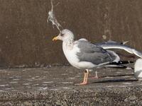 脚の黄色いセグロカモメ - コーヒー党の野鳥と自然 パート2