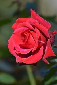 やっと会えた!憧れていたバラたち - 前を向いて「ひまわり」